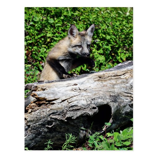 Red Fox Pup - Standing on a Log Postcard