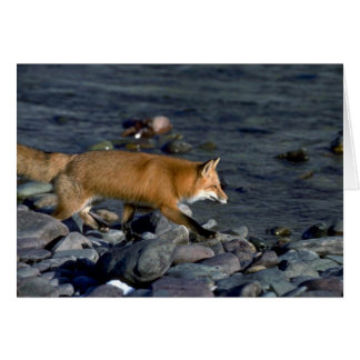 Red Fox running beside river Greeting Card
