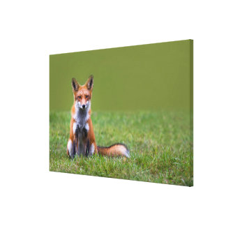 Red Fox Sitting On Grass Canvas Print