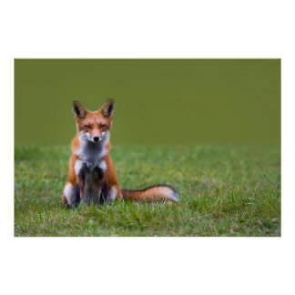 Red Fox Sitting On Grass Poster