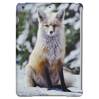 Red Fox sitting on snow bank, Vulpes, Mt.