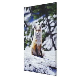 Red Fox sitting on snow bank, Vulpes, Mt. Canvas Print