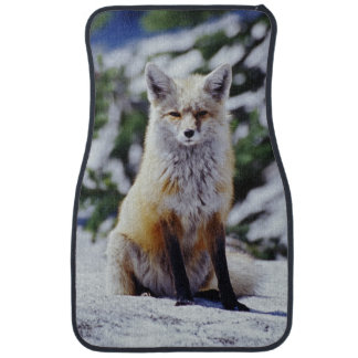 Red Fox sitting on snow bank, Vulpes, Mt. Car Mat