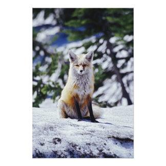 Red Fox sitting on snow bank, Vulpes, Mt. Photo Print