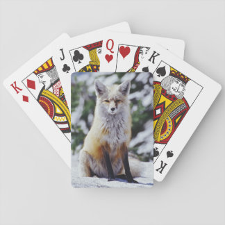 Red Fox sitting on snow bank, Vulpes, Mt. Playing Cards
