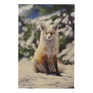 Red Fox sitting on snow bank, Vulpes, Mt. Wood Print