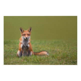 Red Fox Sitting Wood Print