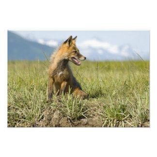 Red Fox, Vulpes fulva , Katmai National Park, Photo Print
