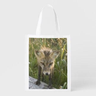 Red Fox, Vulpes fulva on log, Wildflowers,