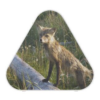 Red Fox, Vulpes fulva on log, Wildflowers, 2