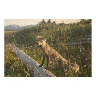 Red Fox, Vulpes fulva on log, Wildflowers, 2 Wood Print