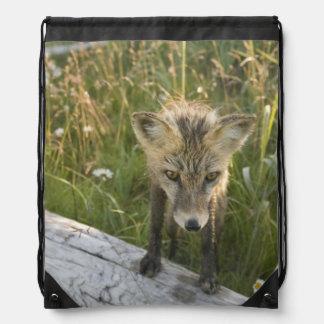 Red Fox, Vulpes fulva on log, Wildflowers, Backpacks
