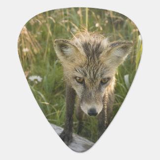 Red Fox, Vulpes fulva on log, Wildflowers, Guitar Pick