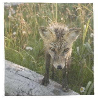 Red Fox, Vulpes fulva on log, Wildflowers, Napkin