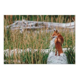 Red Fox, Vulpes vulpes, Alaska Peninsula, 2 Photo Print
