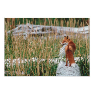 Red Fox, Vulpes vulpes, Alaska Peninsula, 2 Photographic Print