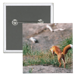 Red Fox, Vulpes vulpes, Alaska Peninsula, 3 15 Cm Square Badge