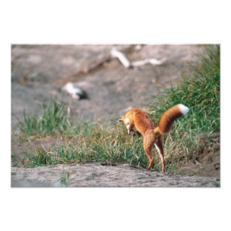 Red Fox, Vulpes vulpes, Alaska Peninsula, 3 Photo Art