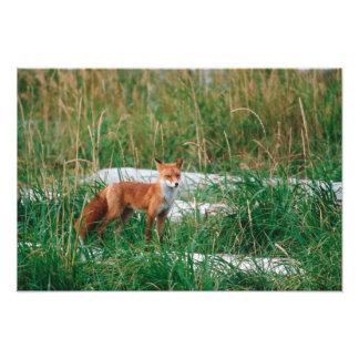 Red Fox, Vulpes vulpes, Alaska Peninsula, Photo Print