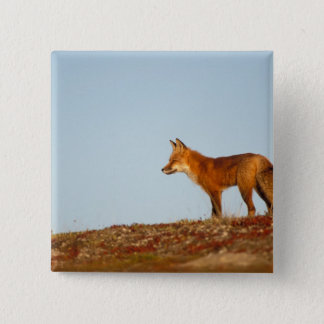 red fox, Vulpes vulpes, along the central North 15 Cm Square Badge
