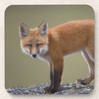 red fox, Vulpes vulpes, along the central North 2 Beverage Coaster
