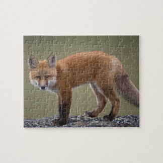 red fox, Vulpes vulpes, along the central North 2 Jigsaw Puzzle