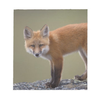 red fox, Vulpes vulpes, along the central North 2 Notepad