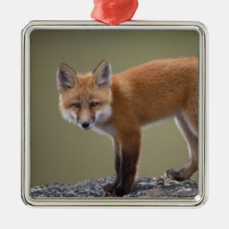 red fox, Vulpes vulpes, along the central North 2 Silver-Colored Square Decoration