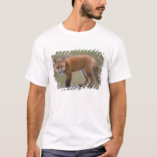 red fox, Vulpes vulpes, along the central North 2 T-Shirt