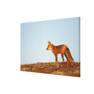 red fox, Vulpes vulpes, along the central North Canvas Print
