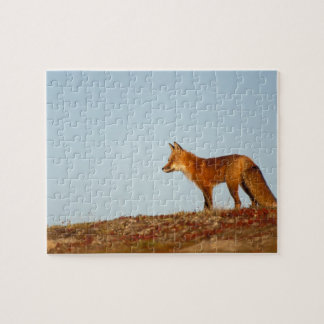 red fox, Vulpes vulpes, along the central North Jigsaw Puzzle