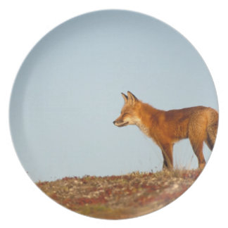 red fox, Vulpes vulpes, along the central North Plate