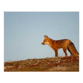 red fox Vulpes vulpes along the central North Print