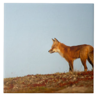 red fox, Vulpes vulpes, along the central North Tile