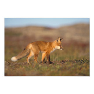 red fox, Vulpes vulpes, along the central Photo Print