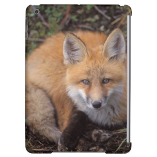 red fox, Vulpes vulpes, in fall colors along