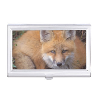 red fox, Vulpes vulpes, in fall colors along Business Card Holder