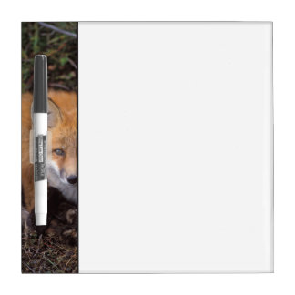 red fox, Vulpes vulpes, in fall colors along Dry Erase Whiteboard