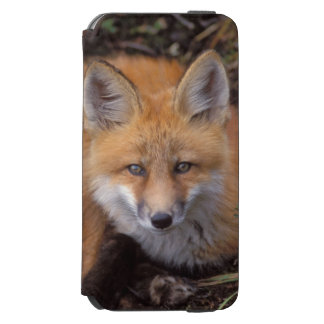 red fox, Vulpes vulpes, in fall colors along Incipio Watson™ iPhone 6 Wallet Case