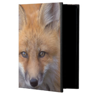 red fox, Vulpes vulpes, in fall colors along iPad Air Case