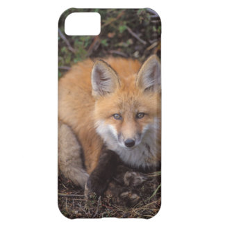 red fox, Vulpes vulpes, in fall colors along iPhone 5C Case