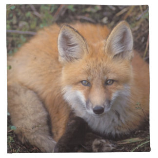 red fox, Vulpes vulpes, in fall colors along Napkin