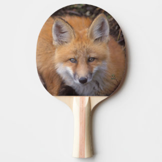 red fox, Vulpes vulpes, in fall colors along Ping Pong Paddle
