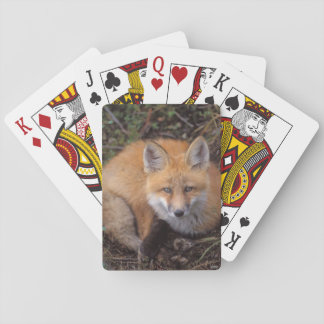 red fox, Vulpes vulpes, in fall colors along Playing Cards