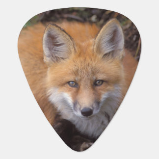 red fox, Vulpes vulpes, in fall colors along Plectrum