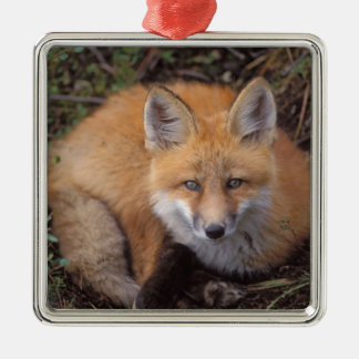 red fox, Vulpes vulpes, in fall colors along Silver-Colored Square Decoration