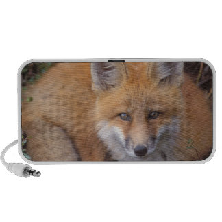 red fox, Vulpes vulpes, in fall colors along Mp3 Speaker