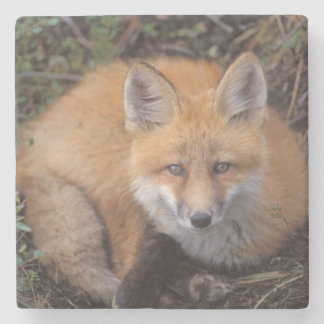 red fox, Vulpes vulpes, in fall colors along Stone Beverage Coaster