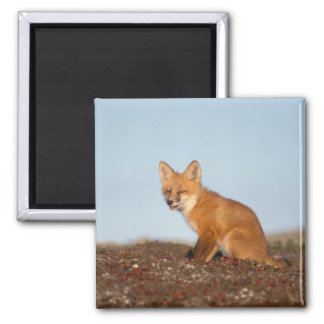 red fox, Vulpes vulpes, in fall colors along the 2 Magnet