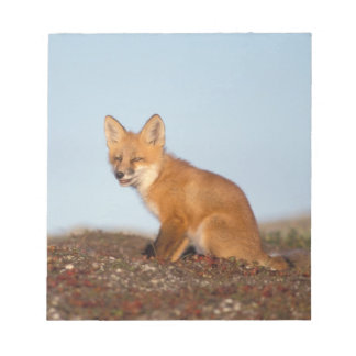 red fox, Vulpes vulpes, in fall colors along the 2 Notepad